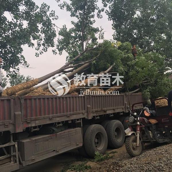 沭阳县200多亩移植栾树寻求伯乐