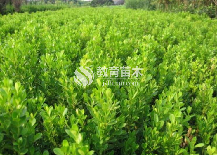 小叶黄杨小苗和大叶黄杨小苗的区别