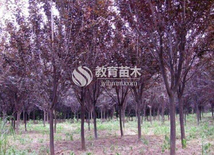 紫叶李003
